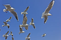 Indian seagulls Stock Images