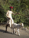 Indian shepherd leading a calf. Stock Photos