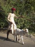 Indian shepherd leading a calf. Stock Photos
