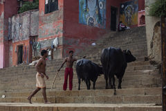 Indian shepherd watching the cows on the street Stock Photography