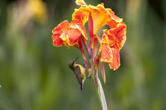 Indian shot, Canna (Canna spp. and hybrid) Stock Images