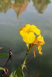 Indian shot, Canna flower on the water in thailand Stock Photos