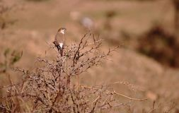 Indian silverbill bird. Sitting on the branch of dry shrubs. beautiful and natural  brown background. picture click at banswara, rajasthan, India stock photos