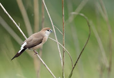 Indian Silverbill Stock Image