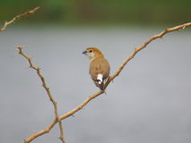 Indian Silverbill perched on thorny plant Royalty Free Stock Image