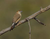 Indian Silverbill or White throated Munia (Euodice malabarica) Royalty Free Stock Photo