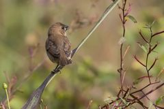 Close up of Indian Silverbill Sitting on a Branch Stock Image