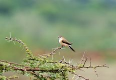 Indian Silverbill. The Indian silverbill or white-throated munia is a small passerine bird found in the Indian Subcontinent and adjoining regions that was Royalty Free Stock Photography