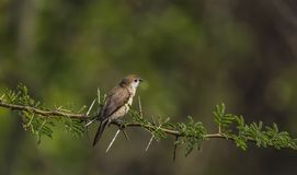Euodice malabarican : Indian Silver bills on a Thorny branch royalty free stock photography