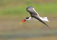 Indian Skimmer Royalty Free Stock Photography