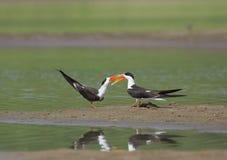 Indian Skimmer courtship display  at Chambal River,Rajasthan,India. Asia stock photo