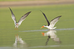Indian Skimmer Fighting Royalty Free Stock Image