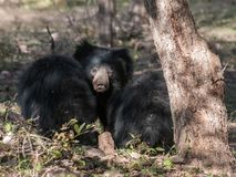 Indian sloth bear in Ranthambore National Park, India. Indian sloth bear with cubs in Ranthambore National Park in Rajasthan, India stock image