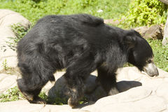 Indian Sloth bear Stock Images