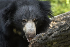 Indian Sloth Bear Stock Image