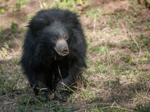Indian sloth bear in Ranthambore National Park, India. Indian sloth bear in Ranthambore National Park in Rajasthan, India stock image