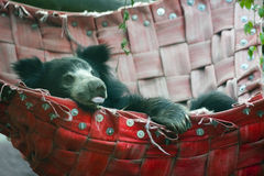 Indian sloth bear Royalty Free Stock Images