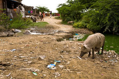 Indian Slum. Slum in Delhi India with large pig in foreground royalty free stock photography