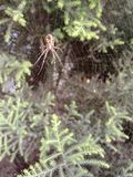 Indian spider build it& x27;s own web myself royalty free stock photography