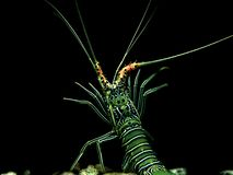 Indian Spiny Lobster royalty free stock photo
