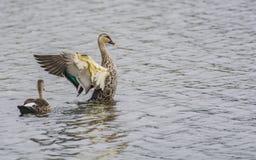 Takeoff : Indian spot-billed duck Pair stock photos