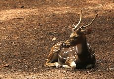 Indian spotted deer Royalty Free Stock Photography