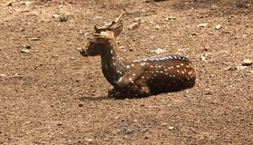 Indian spotted deer Royalty Free Stock Photo