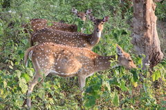Indian Spotted Deer Royalty Free Stock Images