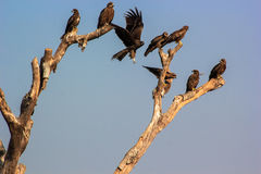 Indian spotted eagle and crow on one branch. Stock Photography
