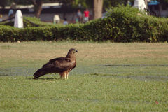Indian Spotted Eagle. The Indian spotted eagle on ground Royalty Free Stock Photos