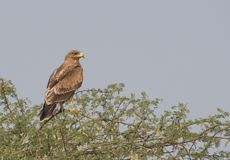 Indian Spotted Eagle Perching on a Thorny Three. Indian Spotted Eagle Clanga hastata sitting on the babool tree  It is a Globally threatened species and Royalty Free Stock Photos