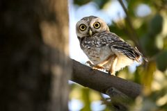 Indian spotted owl Royalty Free Stock Photo