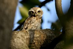 Indian spotted owl Royalty Free Stock Image