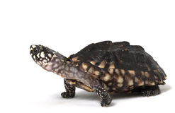 Indian Spotted Turtle Stock Photography