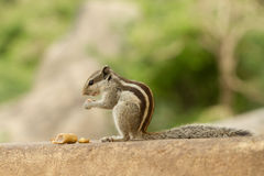 Indian squirrel Stock Photography