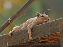 Indian squirrel lying across metal pole Royalty Free Stock Photo