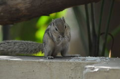 Indian Squirrels. Eager to eat rice Stock Image