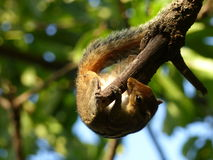 Indian Squirrels Stock Photography