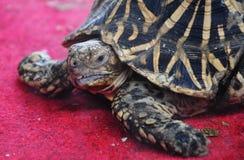 Indian star tortoise Royalty Free Stock Image
