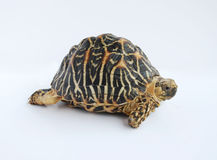 Free Indian Star Tortoise Royalty Free Stock Photography - 6669597