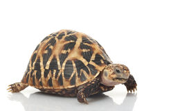 Indian Star Tortoise Stock Image