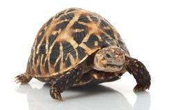 Indian Star Tortoise. (Geochelone elegans) isolated on white background Royalty Free Stock Image