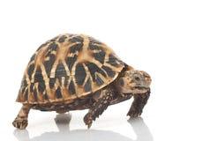 Indian Star Tortoise. (Geochelone elegans) isolated on white background Royalty Free Stock Photography