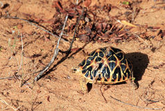 Indian Star Tortoise Stock Photography