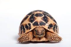Indian Star Tortoise (Geochelone elegans) isolated on white back royalty free stock photo