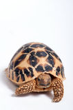 Indian Star Tortoise (Geochelone elegans) isolated on white back Royalty Free Stock Photo