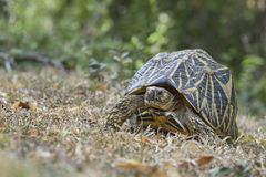 Indian Star Tortoise - Geochelone elegans, Sri Lanka. Walking slowly in the grass. Exotic pet Royalty Free Stock Photo