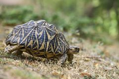 Indian Star Tortoise - Geochelone elegans, Sri Lanka. Walking slowly in the grass. Exotic pet Stock Photo