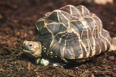 Indian Star Tortoise. The Indian star tortoise Geochelone elegans is a threatened species of tortoise found in dry areas and scrub forest in India and Sri Lanka stock image