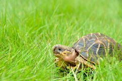 Indian star tortoise on a home lawn Royalty Free Stock Image